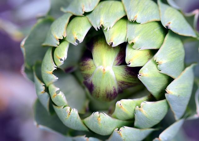 rostlina artyčok